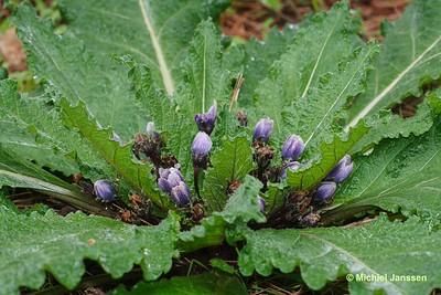 Mandragora officinarum - Alruin - Mandrake - Mandrágora