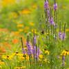 Prairie Wildflowers at Ada Hayden Park in Ames, Iowa