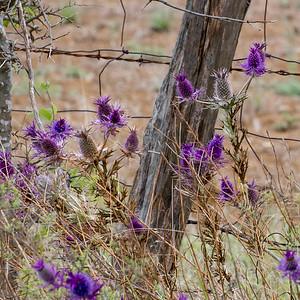 Eryngo Thistle near Moody, Texas
