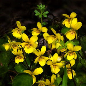Yellow Violets (Johnny Jump-ups), Joyce, Washington