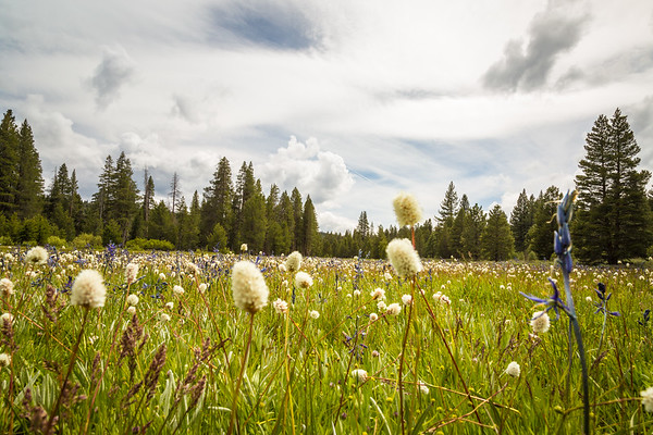 Camas Lillies - Sagehen Creek Low