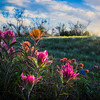 Prairie Paintbrushes at Sunrise