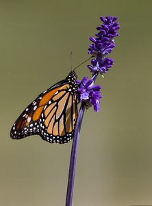 Monarch at the South Texas Botanical Gardens 2018