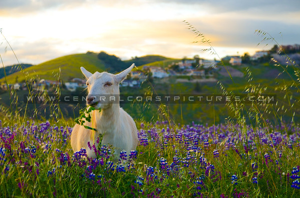 pismo-goat-wildflowers-4798