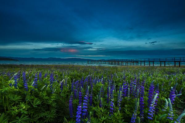 Tahoe Lupine Blue