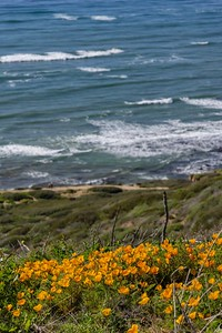 California poppies on the San Diego coast