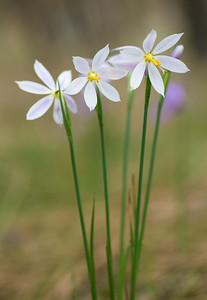 Grass widows white, satin flowers - Sisyrinchium douglasii pink & white