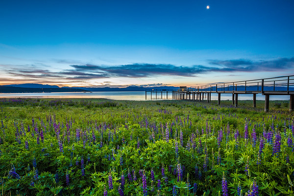 Tahoe Lupine Moonrise