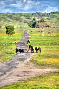 cows_6705