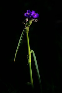 Spiderwort, Texas Hill Country near Llano, Texas
