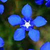 Gentiana verna - Voorjaarsgentiaan - Spring Gentian - Gitanilla menuda