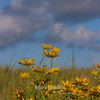 Black Eyed Susans at McFarland Prairie 2014