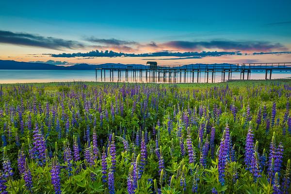 Tahoe Lupine