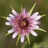 Tragopogon porrifolius - Paarse morgenster - Purple Salsify - Salsifí común