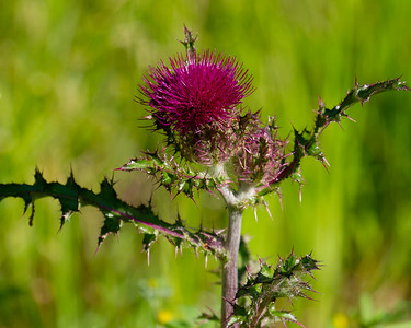 Thistle in MS