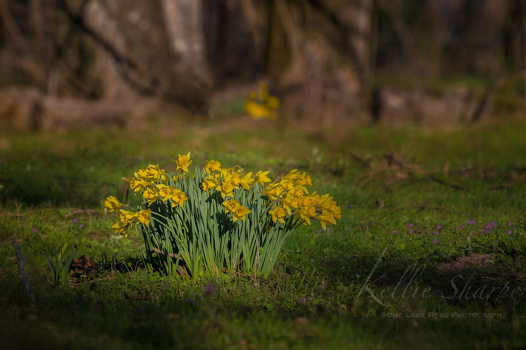 Daffodils at Sunset