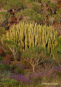 Euphorbia canariensis - Canary Island Spurge - Canarische wolfsmelk - Cardón
