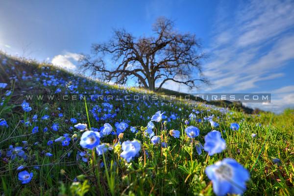 blue wildflowers_6618