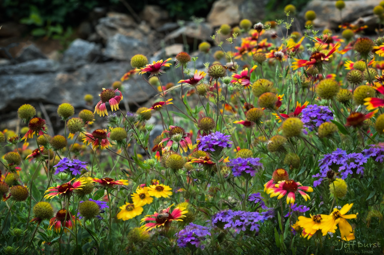 Kerrville Wildflowers 17May-1-1-142