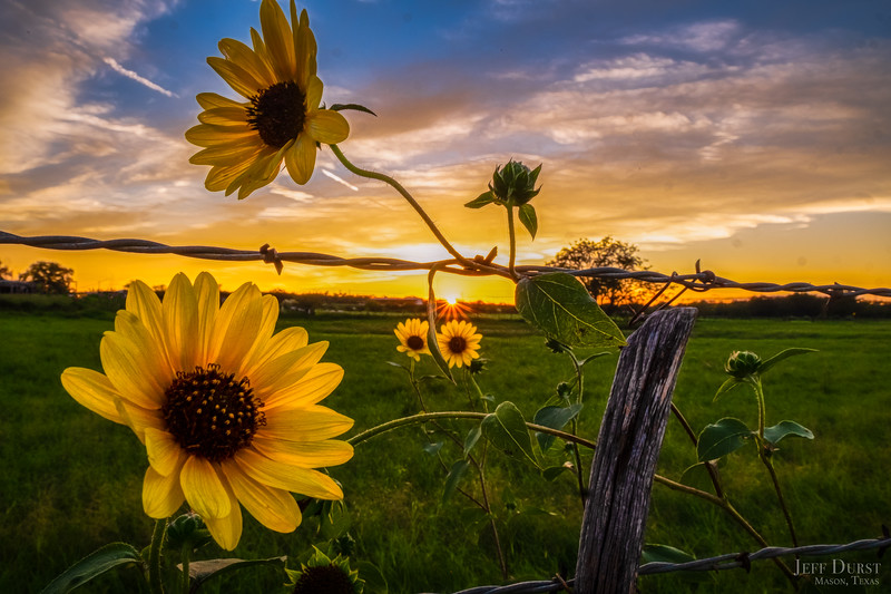 Four Daisy Fence Sunset-1