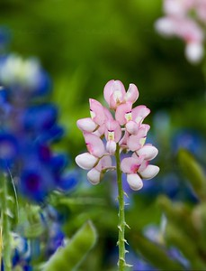 Legend of the pink Bluebonnet