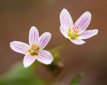Western spring beauty wildflowers, Indian potato - Claytonia lanceolata