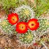 Cactus blossoms near Moab, Utah.