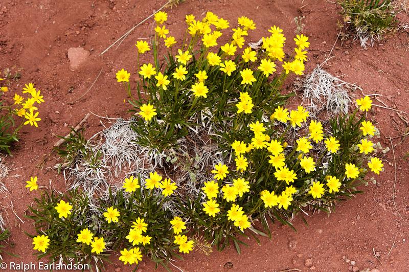 Yellow wildflowers at Fisher Towers near Moab, Utah.
