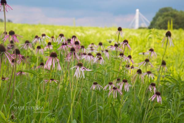 Purple Cone Flower in Iowa Prairie