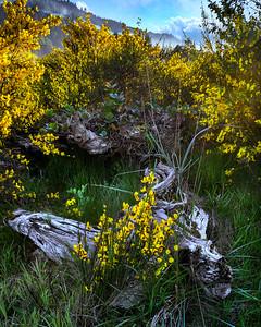 Scotch Broom, Clallam County, Washington