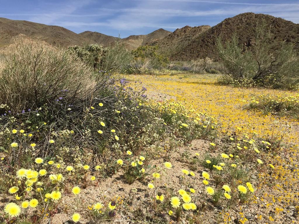 . Pale yellow desert dandelions, woolly daisies and blue wild heliotrope near Cholla Gardens, Joshua Tree National Park