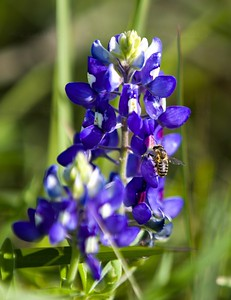 Bluebonnet and pollinator