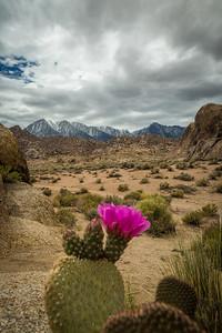 Eastern Sierra - Alabama Hills Cactus