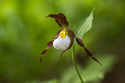 Mountain lady's slipper solo - Cypipedium montanum