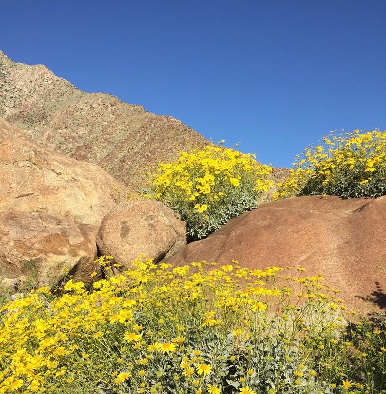 . Brittlebush at Borrego Palm Canyon, Anza-Borrego Desert State Park