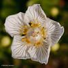 Parnassia palustris - Parnassia - Marsh Grass-of-Parnassus - Hepática blanca