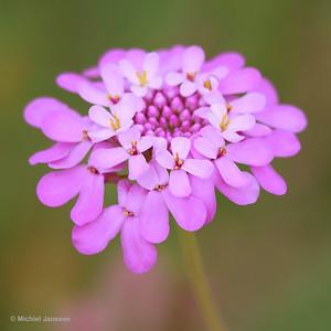 Iberis umbellata - Schermscheefbloem - (Globe) Candytuft - Carraspique umbelada