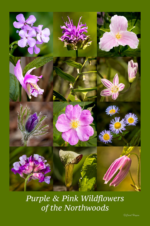 Purple and Pink Wildflowers of the Northwoods