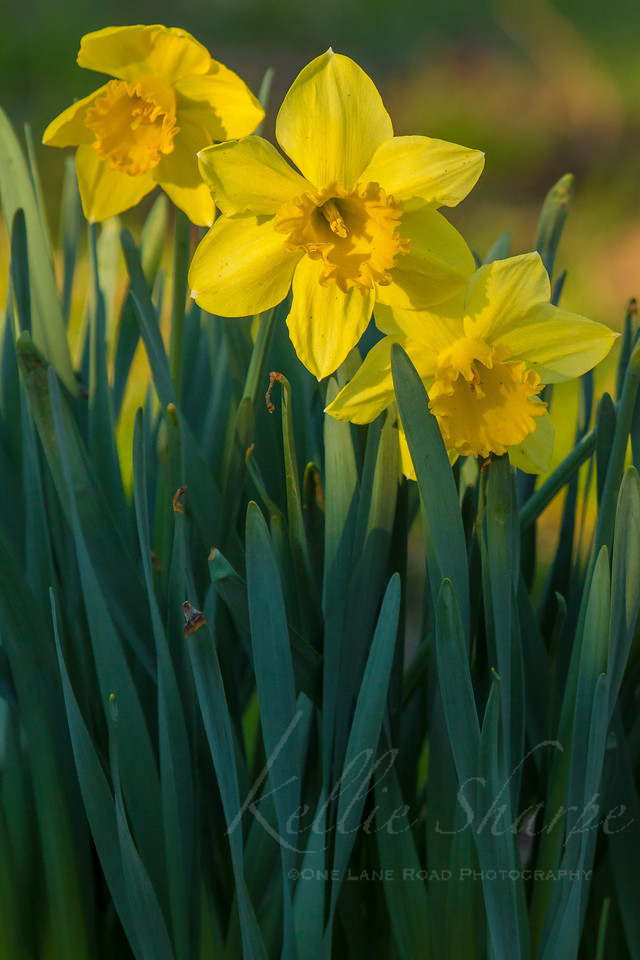 Daffodils Along The Little River