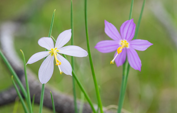 Grass widows Pair, satin flowers - Sisyrinchium douglasii pink & white