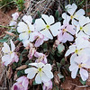 A group of primrose blossoms in Capitol Reef National Park, Utah.
