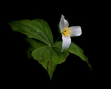 Trillium, a woodland wildflower of Washington State