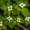 Bunchberry dogwood (Cornus canadensis) flowers on the trail to Hurricane Mountain.