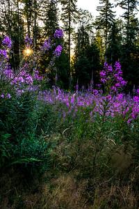 Fire Weed, Joyce Valley, Washington