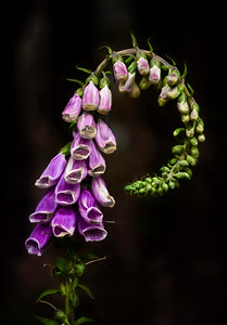 """Foxglove"" a wildflower that grows profusely in open fields, along roadways,  and throughout logging clearcut  units in westerrn Washington"