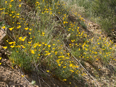 Crafton Hills Flowers 3.30.13