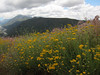 Golden Yarrow with the Yucaipa Ridge and Mill Creek in the distance.