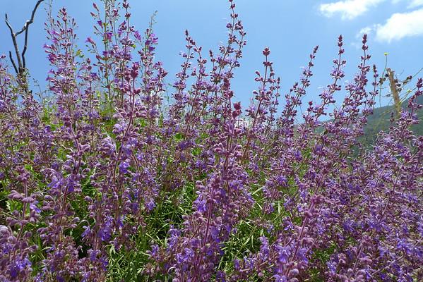 Flowers along the Road to Morton Peak  5.22.10