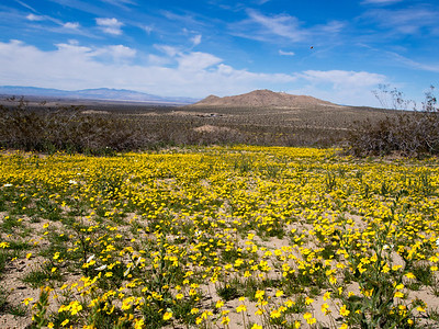 Saddleback Butte State Park - Wildflowers  3.9.14