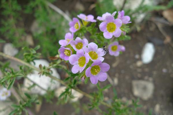 Wildflowers along the Bear Flat Trail - San Gabriels 6.14.09